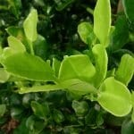 Makrut Lime Leaf